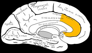 前帯状皮質(ACC)のイメージイラスト