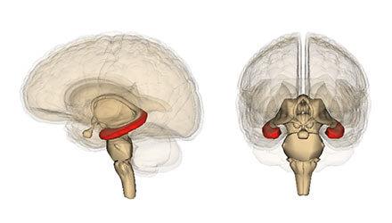 脳内での海馬の位置を示したイラスト。